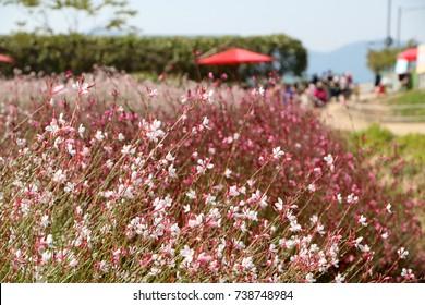 pink gaura blooming flowers