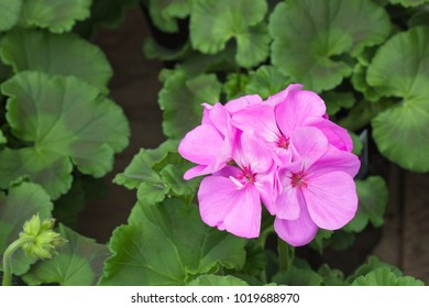 pink geranium flower with green leaves