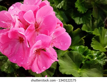 Pink geranium flower with water drops