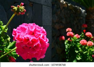 Geranium images stock photos vectors shutterstock pink geranium flowers in the garden on a sunny daylargonium close up gardening mightylinksfo