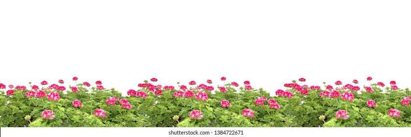 Pink geranium flowers margin, design element background