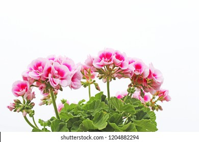 Pink geranium flowers on a white background