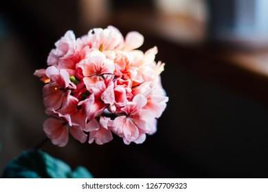 Pink geranium flowers. Sunlight. Beautiful little flower of Geranium. Geranium blossom bouquet of flowers isolated on white background. Floristry. Ivy-leaf pelargonium.Geranium Peltatum.