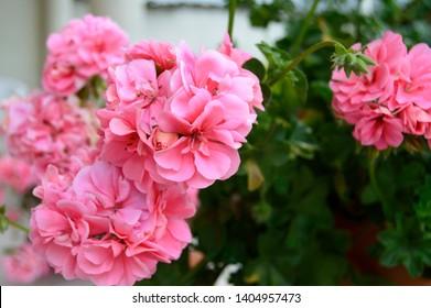 Pink geranium flowers. Sunlight. Beautiful little flower of Geranium. Floristry. Ivy-leaf pelargonium. Geranium Peltatum.