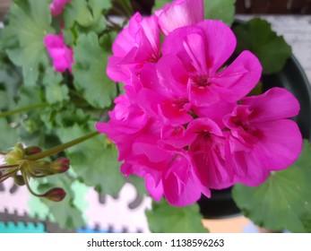 Pink geranium in our garden