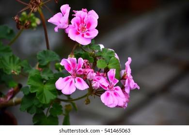 Pink Geranium (Pelargonium) Flowers