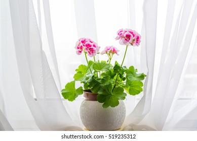 Pink geranium stand on windowsill in curtains background