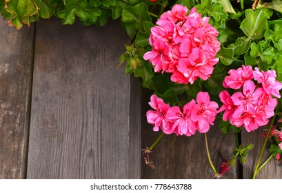 Geranium images stock photos vectors shutterstock pink geranium in summer garden on old wooden stairs backgroundivy leaf pelargonium mightylinksfo