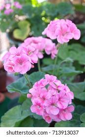 Pink geranium zonal