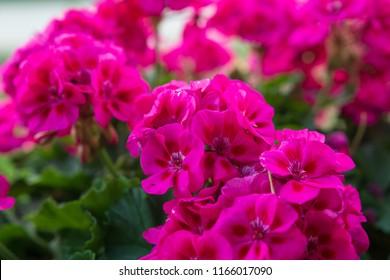 Pink geraniums blossoms