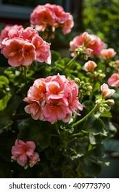 Pink geraniums in a flowerpot