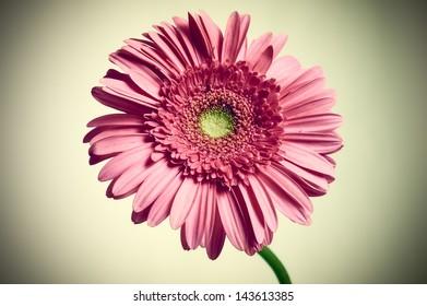 Pink gerber daisy flower