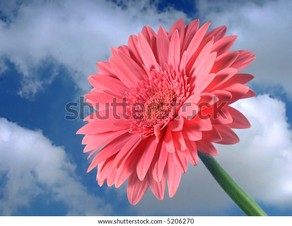 Pink gerber flower with green stem against blue sky and white clouds