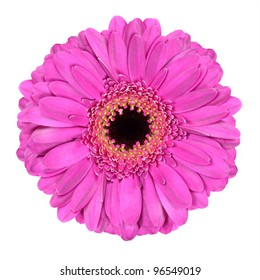 Pink Gerber Flower Macro Isolated on White Background