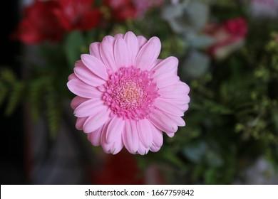 Pink gerbera in a bouquet of flowers