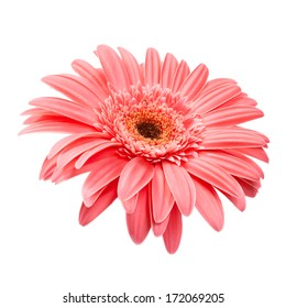 Pink gerbera close up, isolated on white background.