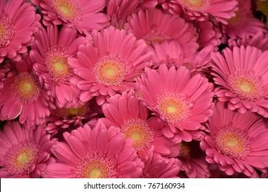 Pink Gerbera Daisy Flowers Background