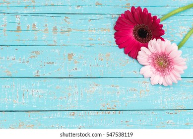 Pink Gerbera Daisy Flowers on light blue wooden background for Birthday or Valentines Day.