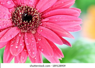 Pink Gerbera daisy macro with water droplets on the petals.. Extreme shallow depth of field.