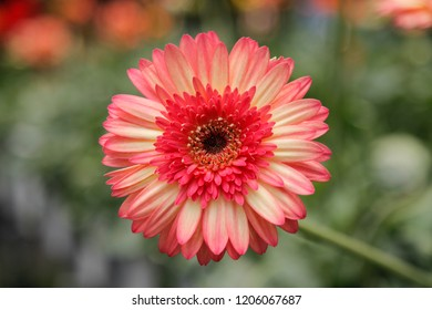 Pink Gerbera Daisy in the Wild Gardens