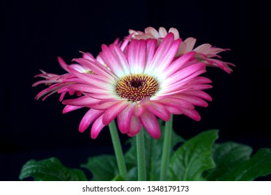 pink gerbera delights me with its colors