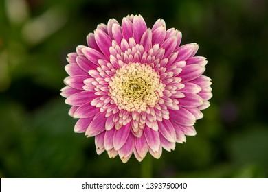 Pink Gerbera flower in closeup against green background