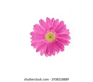 Pink gerbera flower. Closeup. Isolated on white