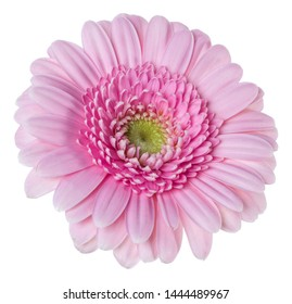 pink gerbera flower head isolated on white background closeup. Gerbera in air, without shadow. Top view, flat lay.