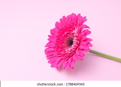 Pink gerbera flower on a pink background. Place for text. Selective focus.