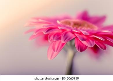 Pink gerbera flowerbackground