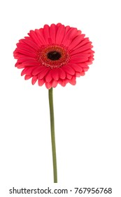 Pink gerbera isolated on a white background
