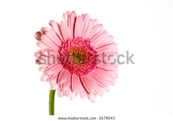 pink gerbera isolated one a white background