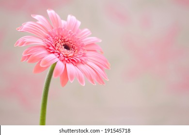 Pink Gerbera on the pink background close up