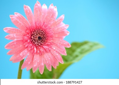 Pink Gerbera on the blue background close up