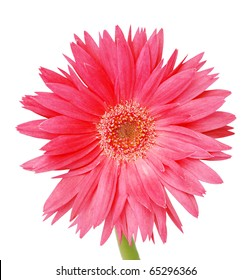 the pink gerbera on white