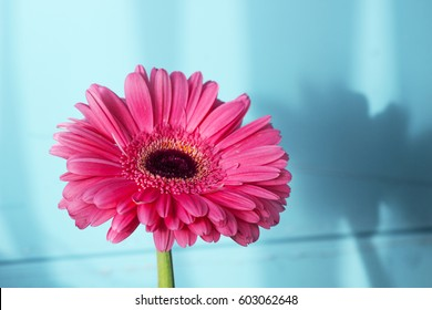 Pink gerbera petals in the sunlight.