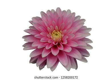 pink Gergina Flower Close isolate on white background