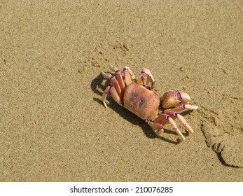 Pink ghost crab (Ocypode Ryderi) on beach in Sodwana Bay, South Africa