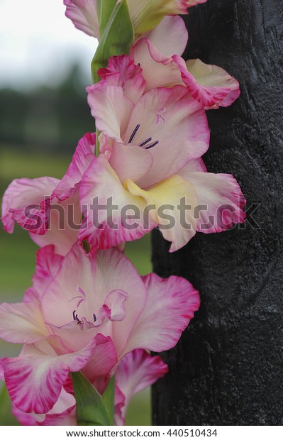 Pink Gladiola in the garden