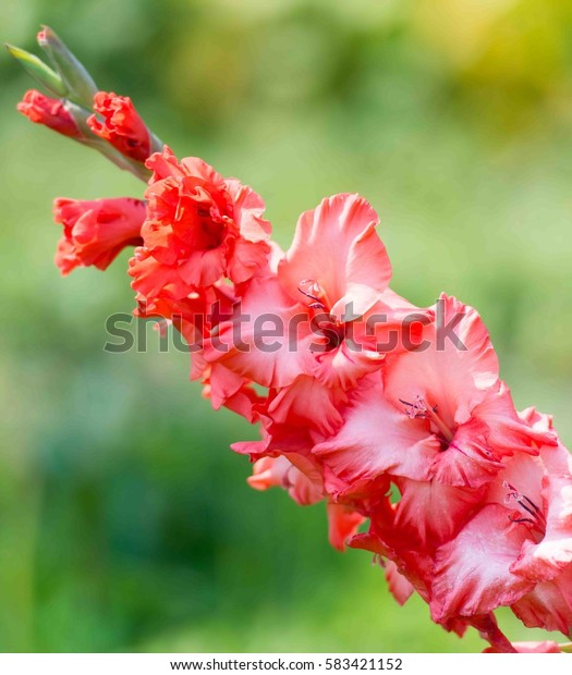 Pink gladiolus close up