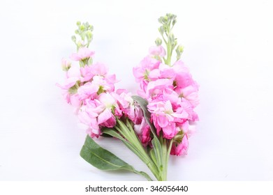 Pink gladiolus flower on white background