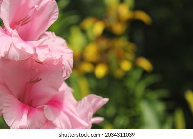 Pink Gladiolus With Flowers in Background Small Spider on Petal