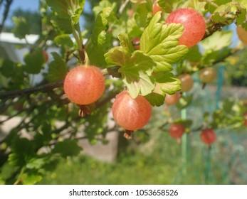 Pink gooseberry on bush