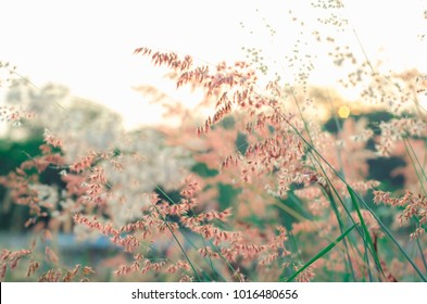 Pink  grass  backgrounds