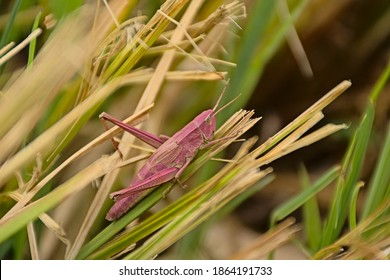 Pink grasshoppe on a grass stalk, a rare mutation called erythrism - Caelifera