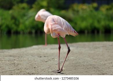 Pink Greater flamingo (Phoenicopterus roseus) preening near the water.
