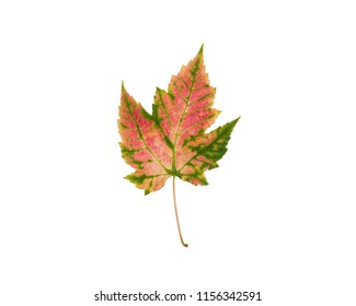 Pink and green Autumn leaf isolated on white background
