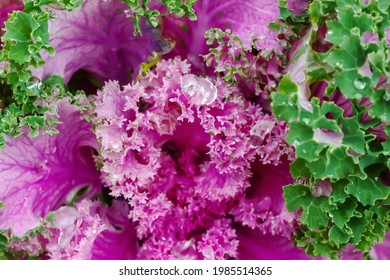 Pink and green Brassica oleracea background, soft selective focus