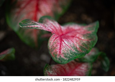 Pink and green leaf in focus with several alike blurred in the background in Arboretum Botanical Garden in Lexington, KY - Shutterstock ID 1822482959