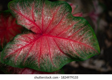 Pink and green leaf in focus with several alike blurred in the background in Arboretum Botanical Garden in Lexington, KY - Shutterstock ID 1824979133
